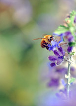 Honey bee on Russian sage flowers.