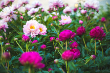 pink and fuchsia flowers in a flower garden