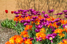 purple and orange flowers in a flower bed