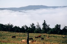 cows grazing in a foggy mountain pasture