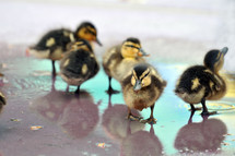 Ducklings in a puddle of water.