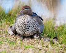 Wood duck family,