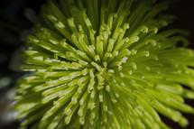 A green flower.
