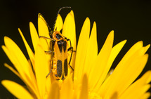 Soldier beetle on yellow flower petals.