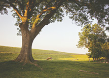 sheep grazing in a pasture under a tree