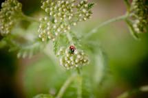 ladybug on wildflowers