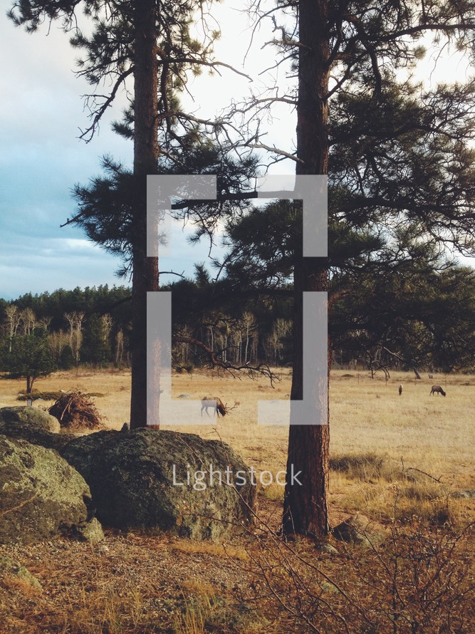 elk grazing