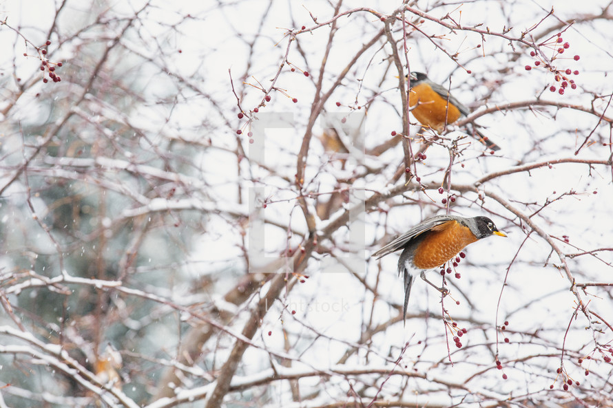 robins in a winter tree