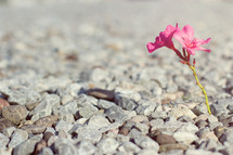 pink flower growing in gravel