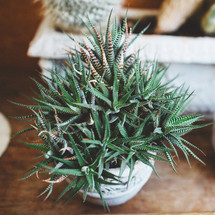 potted aloe plant on a wood table