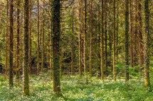 ivy covered trees in a forest