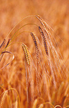 golden wheat grains