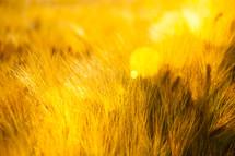 closeup of golden wheat in a wheat field