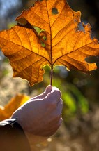 hand holding up large fall leaf