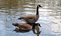 A pair of Canada geese.  One always stands guard while the other feeds.