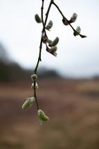 budding spring tree branch