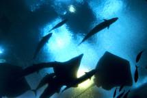 sting rays, fish