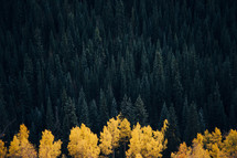 pine forest and fall deciduous trees