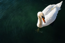 a swan floating on a pond