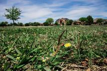 dandelion in a green lawn