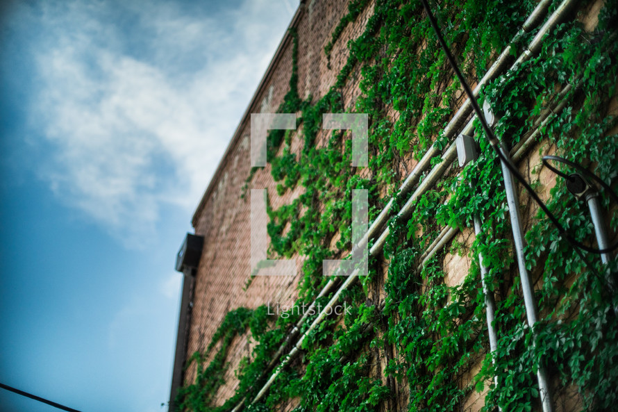 ivy growing on the side of a brick building