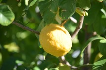 a lemon on a tree