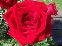 A red rose surrounded by babies breathe flowering in full bloom in the sunlight ready to be given as a gift for a special loved one.