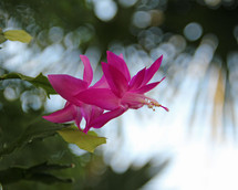 Pink flowers of a Christmas cactus.