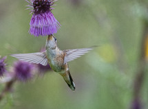 hummingbird at a flower