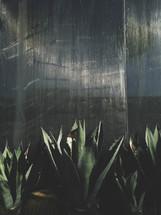 aloe plants and concrete wall