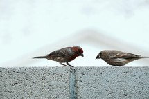 a couple of sparrows