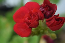 red geraniums flowers