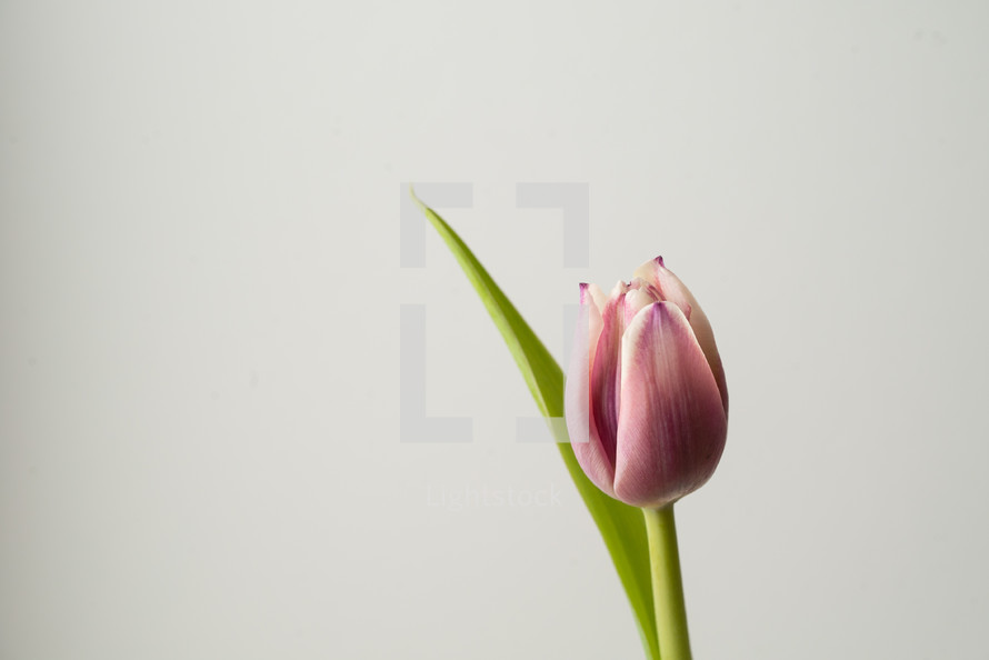 single tulip against a white background