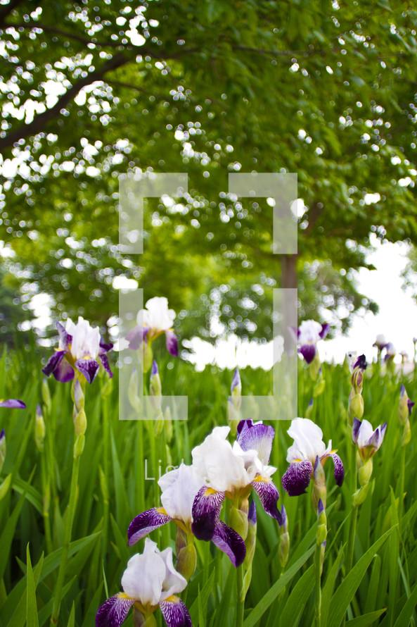 Iris flowers under a tree in a field