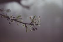 tiny white spring blossoms