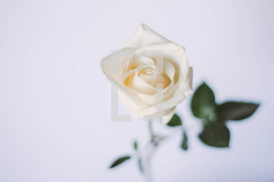 A single white rose on a white background.
