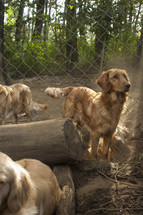 Dogs in fenced pen with logs and trees.