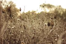 dried plants in a field