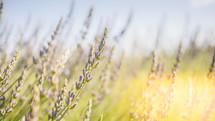 lavender flowers in a field