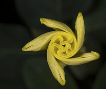 a twirling yellow flower