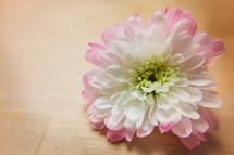 A pink and white flower on a table.