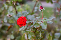 red rose on a bush