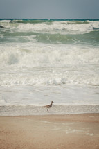 Bird on beach with as ocean waves roll in.