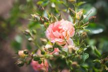 pink roses on a rose bush