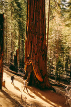 walking beside a giant redwood tree