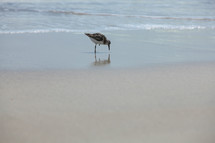 Bird drinking water on beach at ocean.