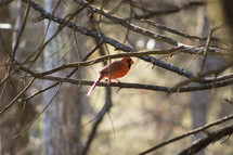 red cardinal on tree branches