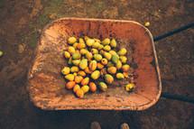 mangos in a wheelbarrow
