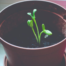 A new green seedling sprouts in a flower pot
