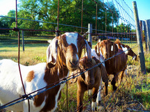 A group of Goats gather together to greet a friend at a fenced in meadow at a local goat ranch farm in Central Florida.